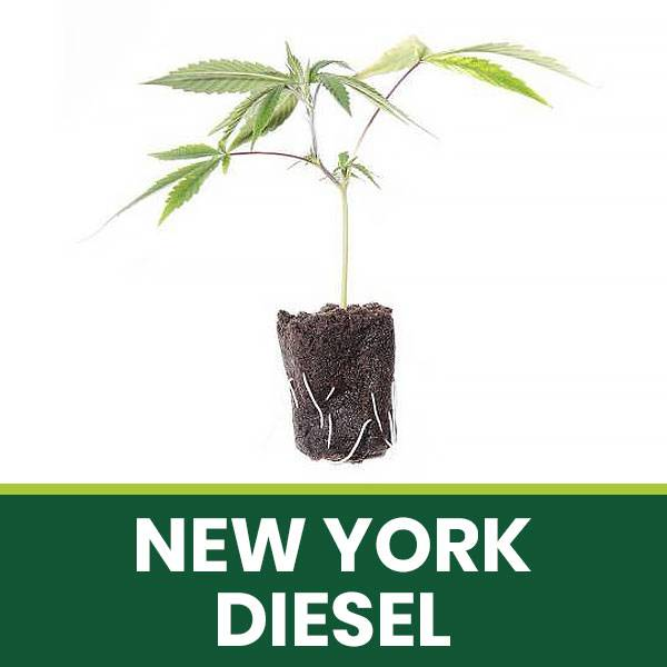 Talea Ornamentale New York Diesel