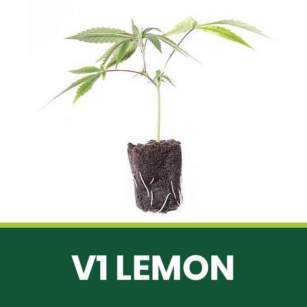 Talea di cannabis Legale CBD V1 Lemon