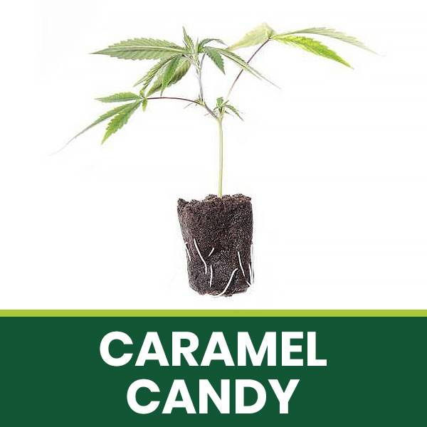 Talea Ornamentale Caramel Candy