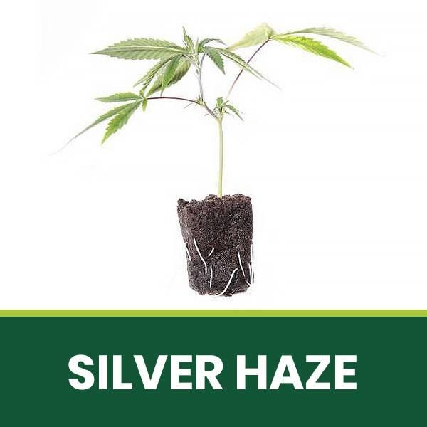 Talea di cannabis Legale CBD Silver Haze