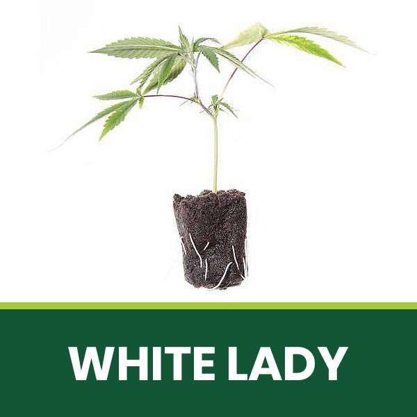 Talea Ornamentale White Lady