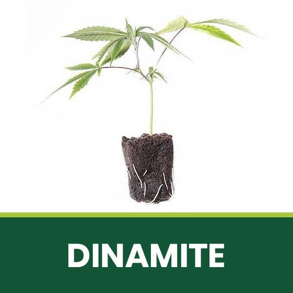 Talea di cannabis Legale CBD Dinamite
